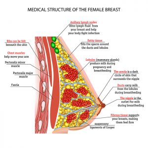 Diagram Of A Female Breast